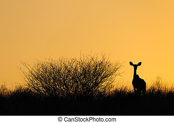 Antelope silhouette - Sillouette of a kudu antelope...