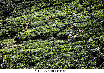 Tea plantation in Munnar, India HDR image