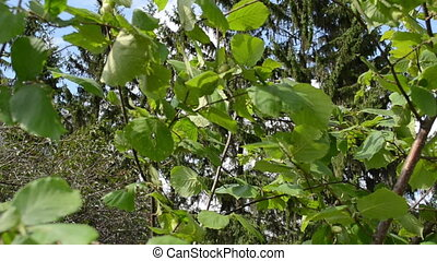 hand pick hazel nut - hand pick collect gather ripe hazel...