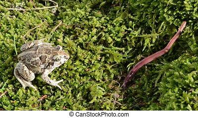 garlic toad worm catch - common european garlic spadefoot...