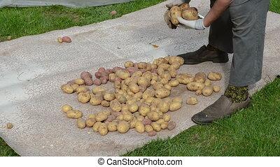 woman gather potato hand
