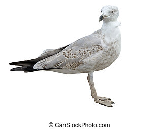 seagull in white background
