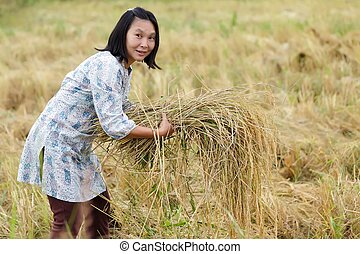 Woman harvesting rice - Farmer woman harvesting rice in...
