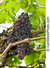 Grape Vine - Bunches of ripe grapes hanging in vineyard