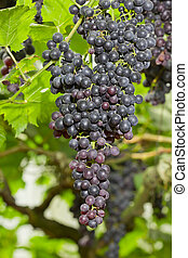 Grapes on the Vine - Bunches of ripe grapes hanging in...