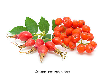rosehips and red rowan on a white background - ripe rose...