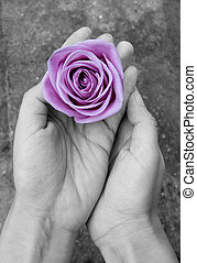 Rose in hands - Hands holding a purple rose