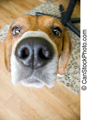 Nosey Beagle - A closeup of a young beagle pup who is being...