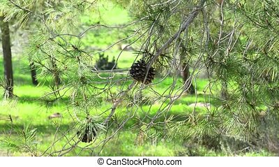 Coniferous tree with pine cones in a beautiful forest