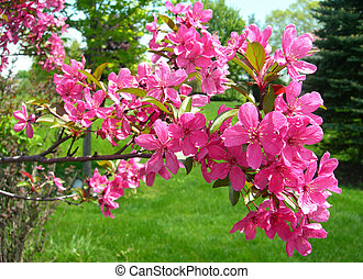 Spring flowers - Spring background with blooming pink apple...