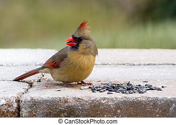Cardinal Female Feasts on Seeds - A female northern cardinal...