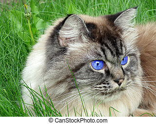 Persian Cat with Blue Eyes - Tabby Persian with Blue Eyes