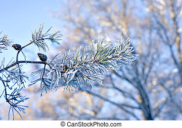 Pine needles with rime frost