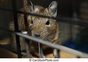 degu looking out of cage Octodon Degus