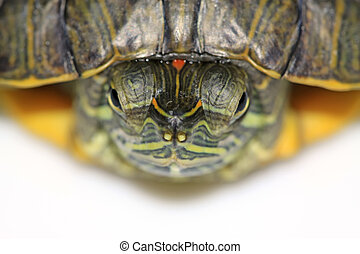 red-eared turtle - a red-eared turtle isolated in white...