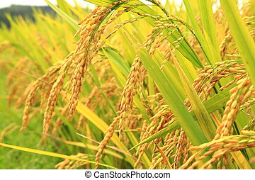 Golden rice in the farm - Mature harvest of golden rice