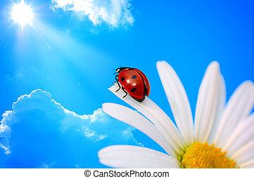 ladybird  on daisy
