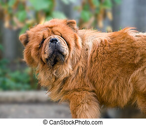 Chow-chow - The dog of breed Chow-chow poses in front of the...