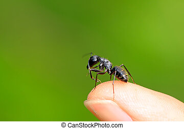 camponotus japonicus on a green leaf, take photos in the...