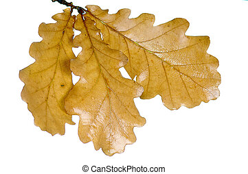 oak twig - autumn oak twig with leaves on white