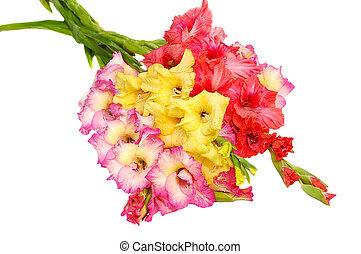 bunch of gladioluses - bunch of colorful gladioluses...