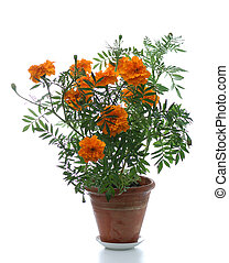 potted plant - blooming marigold in pot on white background