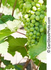 grapevine - green grapevine