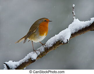 Robin in the snow - Robin on a snowy branch