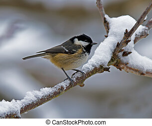 Coal Tit in the snow - Coal Tit on a snowy branch.