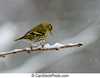 Siskin in the snow - Female Siskin on a snowy branch