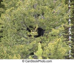 Bear in tree - Black bear trying to keep his balance in a...