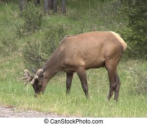 Elk in Banff National Park, Canada in early summer