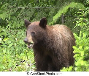 Black bear eating, filmed in the wild in the Canadian Rocky...