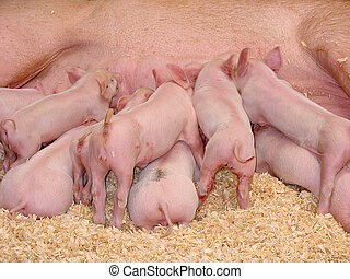 Hungry Piglets - A group of hungry piglets fighting to get...