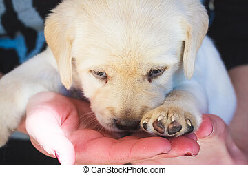 Labrador Retriever Puppy playing at home - Golden Retriever...