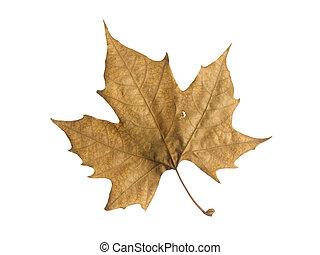 Fall leaf - A single autumn leaf isolated over a white...