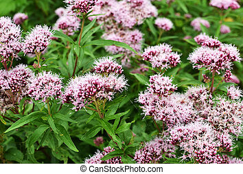 Valerian flowers. - valerian, Valeriana officinalis, bloom,...
