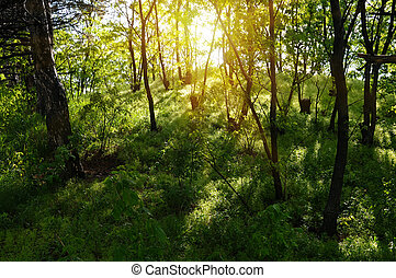 sun rays in the old forest...