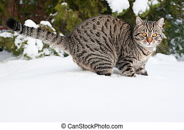 Grey cat on the snow - Domestic cat on white snow in winter