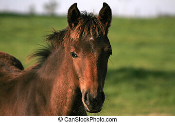 brown Horse - Brown Horse in a field