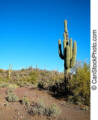 Cactus on Desert Trail - Large cactus on dirt trail in the...