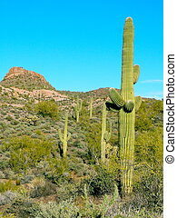 Arizona Cacti - Green cacti in Arizona on a clear blue sky,...