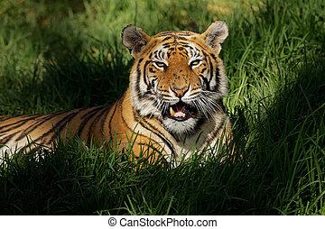 Bengal tiger (Panthera tigris bengalensis) laying in thick...