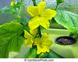 Cucumber hydroponic plants hydroponics organic vegetable...
