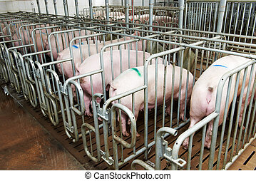 group of young pig feeding - young Group pigs feeding at...