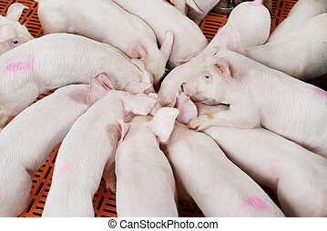 young group piglet feeding - young Group piglet feeding at...