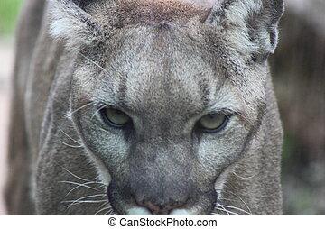 Cougar - Close up of a cougar walking towards the camera