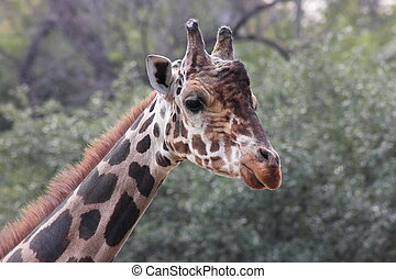 Male Giraffe - Close up of a head and face of a male giraffe