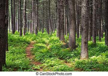 Summer forest - Accumulation of leaves in the Korean pine...
