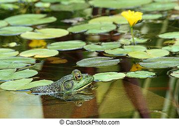 grün, Ochsenfrosch, Teich, lillypads